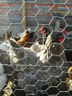 Blue Orpington Hen